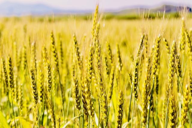 北海道の小麦畑イメージ